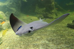 Cownose stingray. Floating in water Stock Photography