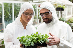 Coworkers in clean suit examining potted plants. Male and female coworkers in clean suit examining potted plants outside greenhouse Stock Image