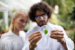 Coworkers inspecting leaf on petri dish. Male and female coworkers inspecting leaf on petri dish at greenhouse Royalty Free Stock Photos