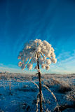 cowparsnip χειμώνας Στοκ φωτογραφία με δικαίωμα ελεύθερης χρήσης