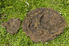Cowpat. Dried cowpat (cow manure, poo) in English field Stock Photography