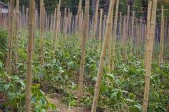 Cowpea, род ферма Vigna стоковые фото