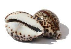 Cowrie de Tigre de Seashells Image libre de droits