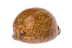 Cowrie Sea Shell Stock Image