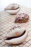 Cowrie Shells Royalty Free Stock Photos