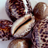 Cowries Royalty Free Stock Photos