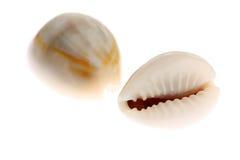 Cowries getrennt auf Weiß Stockbild