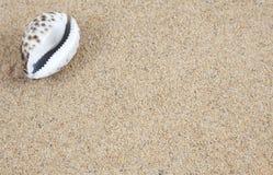 Cowrieskal på sanden arkivbild