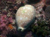 cowry arabica mauritia Zdjęcie Stock