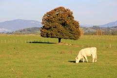 cows белизна Стоковое фото RF
