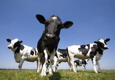 cows голландец Стоковое фото RF