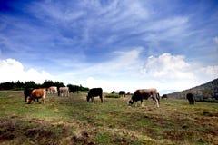 cows гора лужка Стоковая Фотография RF