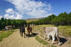 cows горы Стоковые Изображения