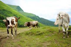 cows горы Стоковые Фотографии RF