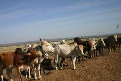 cows дорога Стоковая Фотография