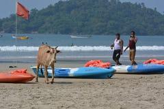 cows инец Стоковая Фотография