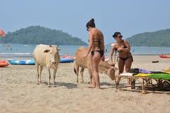 cows инец Стоковая Фотография RF