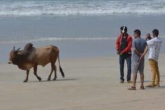 cows инец Стоковые Изображения