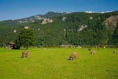 cows лужок Стоковая Фотография