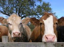 cows молокозавод стоковое изображение