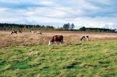 cows молокозавод Стоковое Изображение RF