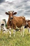 cows молокозавод Стоковое Фото