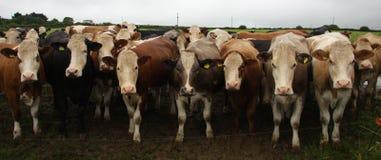 cows панорамное Стоковые Фото