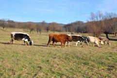 cows различная ферма Стоковые Изображения RF