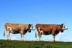 cows рядок Швейцария 2 гор Стоковое фото RF