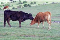 cows секреты Стоковое Фото