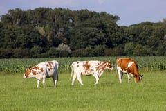 Cows сельскохозяйственне угодье Стоковое Фото