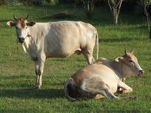 cows тайский Таиланд Стоковое Фото
