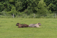 cows лужок Стоковые Изображения