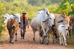 cows хуторянин Стоковое Изображение