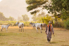 cows хуторянин Стоковое фото RF