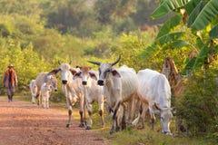 cows хуторянин Стоковые Изображения