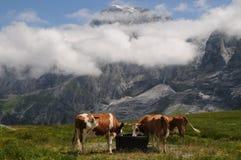 cows швейцарец Стоковое Фото
