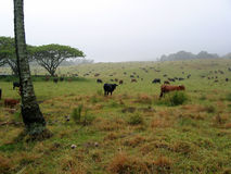 Cows. Hundreds of cows, disappearing into the mist. This shot was taken at a ranch on Maui Stock Photos