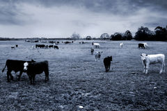 Cows. In the meadow Stock Photography