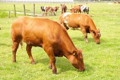 Cows Royalty Free Stock Photos