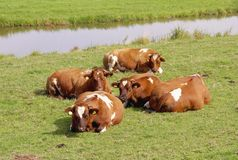 Cows Royalty Free Stock Photography