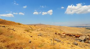 Cows. Landscape Of Galilee Mountains With Herb Of Cows On The Pasture Royalty Free Stock Image