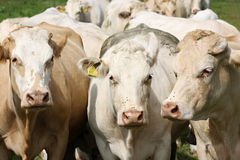cows молокозавод Стоковые Фотографии RF