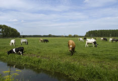 Dutch cows grazing on a meadow. A variety of dutch cows grazing in a meadow Stock Photo