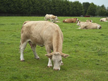 Cows. A herd of cows grazing and relaxing in a field stock images