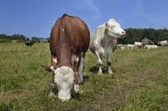 Cows. Pasturing in a meadow Royalty Free Stock Images