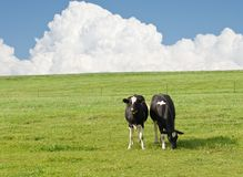 Cows. Two cows grazing in a open field with a cloudy sky behind them Stock Photo