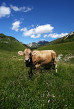 Cows. Passo del Crocedomini (Bs),Lombardy,Italy, dairy cow to pasture Stock Photography