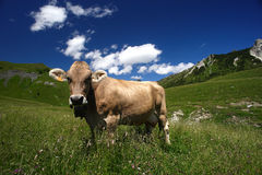 Cows. Passo del Crocedomini (Bs),Lombardy,Italy, dairy cow to pasture Stock Photos