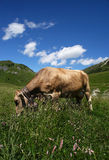 Cows. Passo del Crocedomini (Bs),Lombardy,Italy, dairy cow to pasture Royalty Free Stock Photos